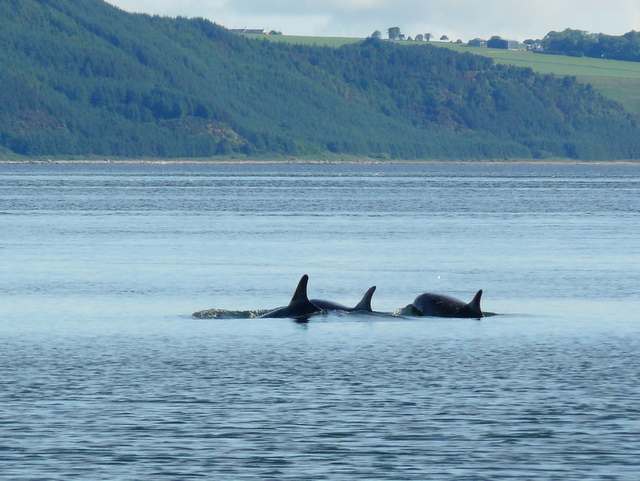 Dolphins at Chanonry Point.