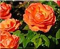 J3067 : Roses, Dixon Park, Belfast (5) by Albert Bridge