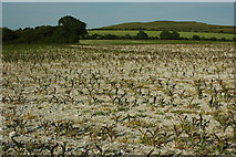 SU2886 : Field of maize, Woolstone Hill by Philip Halling