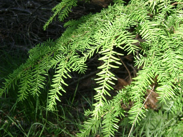 Foliage of Western Hemlock