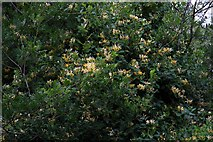 SP4802 : Honeysuckle covered trees on Jarn Heath by Steve Daniels