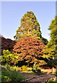ST0580 : A Redwood and a Copper Beech compete for glory - Miskin Manor Hotel by Mick Lobb