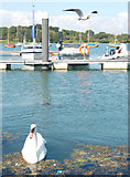 SZ3394 : Swan and black-headed gull by Andy F