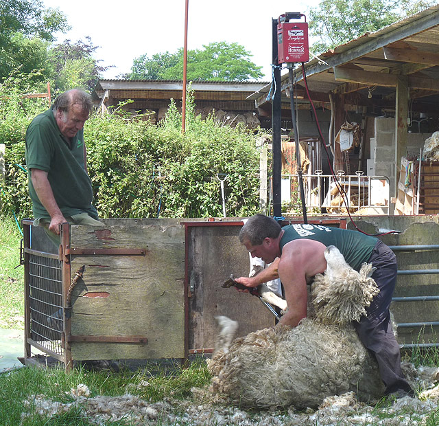 Sheep-shearing: the shepherd watches the shearer (1)