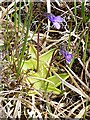 NF8138 : Common Butterwort  (Pinguicula vulgaris) by Anne Burgess