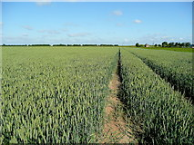 TF4332 : Wheat prairie near the Holbeach Sea Wall by Jonathan Billinger