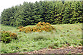 NU1305 : Gorse on hillside northwest of Glantlees (2) by Andy F