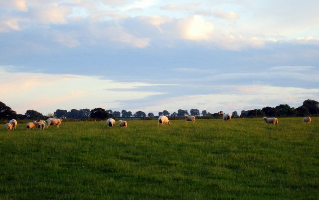 Sheep grazing near Shooter's Bottom