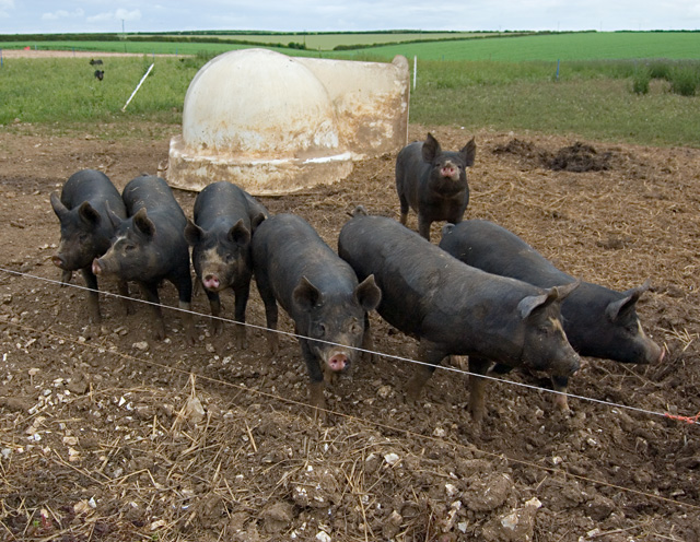 Kiplingcotes pigs
