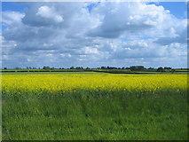 TF8130 : Rape field by Nigel Jones
