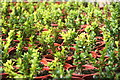 SW8458 : Box cuttings (Buxus sempervirens) in the greenhouse at Trerice by Rod Allday