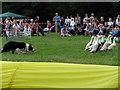 SJ8069 : Lower Withington Rose Day - Duck Herding!! by Paul Kennington