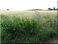 TG3103 : A field of ripening wheat by Evelyn Simak