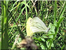 SP9314 : Green-veined White Butterfly at College Lake by Chris Reynolds