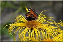 SX7962 : Butterfly on Inula, Dartington by Derek Harper