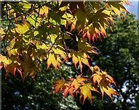 SX7962 : Acer leaves, Dartington by Derek Harper