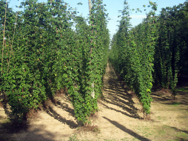 Hop Garden, Hoad's Farm - July