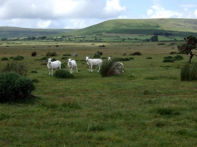 Sheep at Gors Fawr stone circle