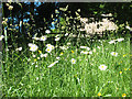 NY7508 : Daisies alongside a footpath by Stephen Craven