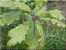 NT1512 : Common Hawker dragonfly by M J Richardson
