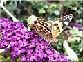 TR0161 : Painted lady butterfly on a buddleia bush in Davington by pam fray