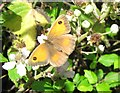 SP9314 : Gatekeeper Butterfly on bramble flowers near College Lake by Chris Reynolds