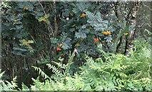 SO7641 : Rowan berries ripening on Pinnacle Hill by Bob Embleton