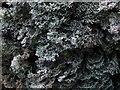 NS4581 : A lichen - Bunodophoron melanocarpum by Lairich Rig