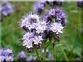 NZ0464 : Scorpion weed (Phacelia tanacetifolia) by Andrew Curtis