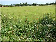 TG3204 : Poppies growing on field edge by Evelyn Simak