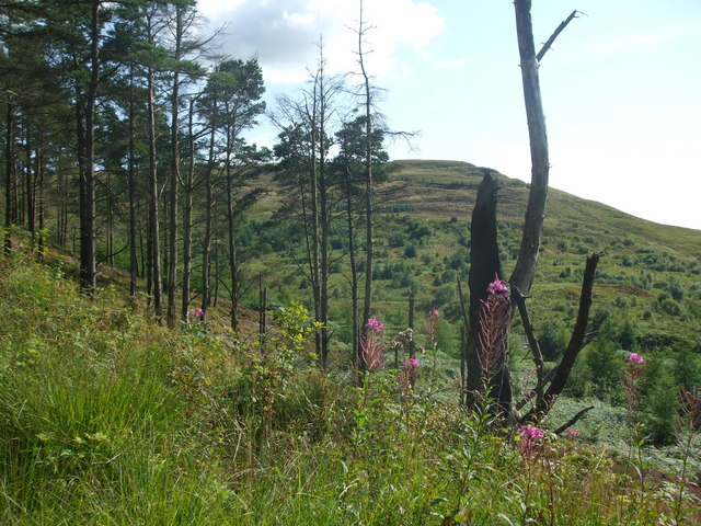 Pine trees and willow herb