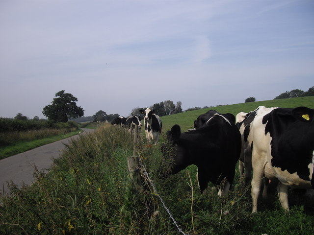 Cows in field next to Low Road