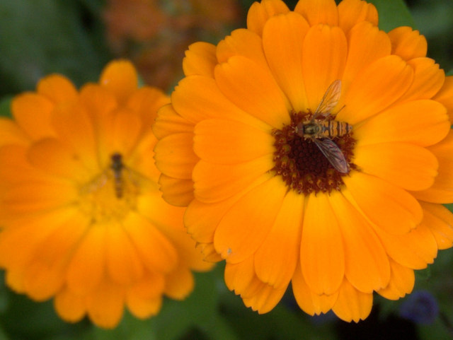 Hoverfies on marigolds at House of Dun
