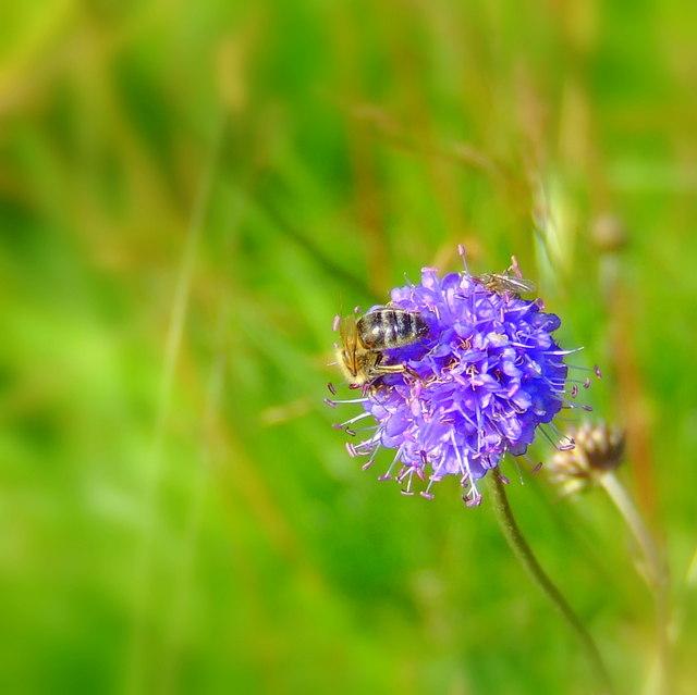 Bee on Scabious, Auchintoul, Glen Esk