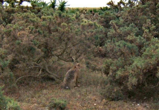 Hare in the gorse, Havergate Island RSPB Reserve
