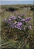 TQ9293 : Sea Lavender near Paglesham Creek by Glyn Baker