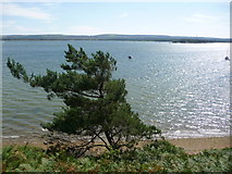 SZ0287 : Brownsea Island: coastal tree and view by Chris Downer