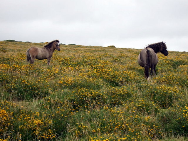 Pony, foal and gorse on the slopes of Talfynydd