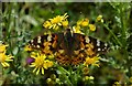 SP2030 : Painted Lady Butterfly by Philip Halling