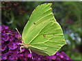 TR1343 : Brimstone butterfly by Martyn Gorman