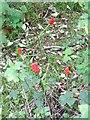 SU0227 : Cuckoo-pint (Arum maculatum), Compton Down by Maigheach-gheal