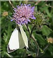 NO6948 : Large White Butterfly (Pieris brassicae) by Anne Burgess