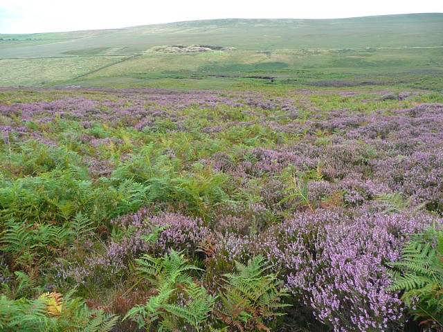 Bracken and heather, Turvin Clough, Mytholmroyd