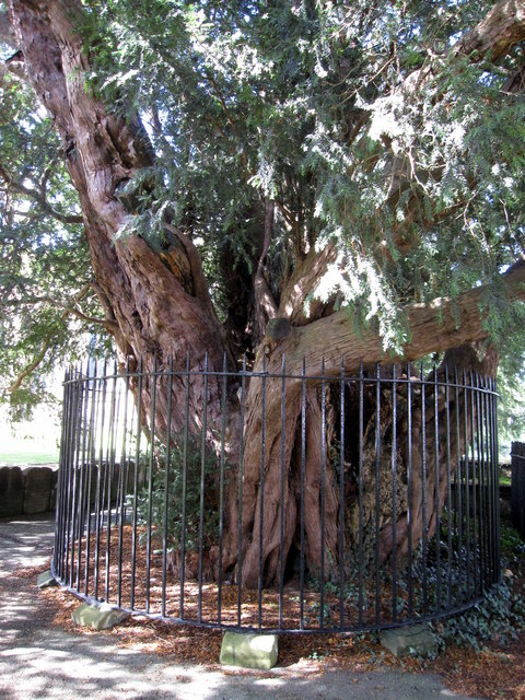 Ancient yew at All Saints', Gresford