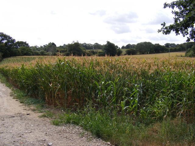Maize Crop off the B1117 Halesworth Road
