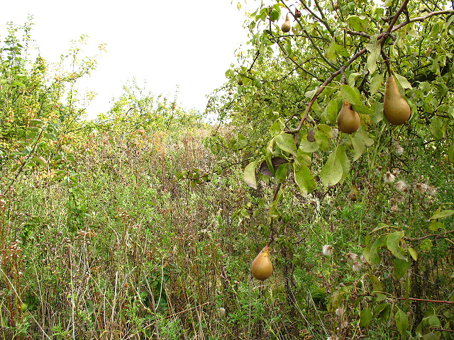 Overgrown pear orchard at Selling