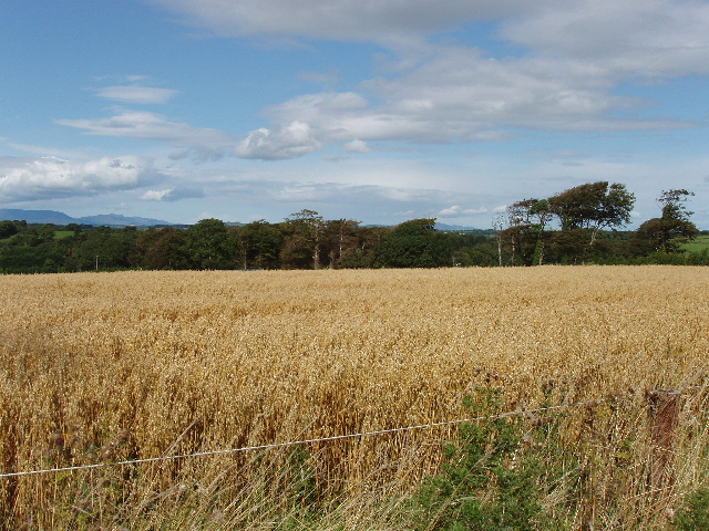 Oats near Ballinamona