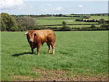 S5708 : Bull in a field near Ballycashin by David Hawgood