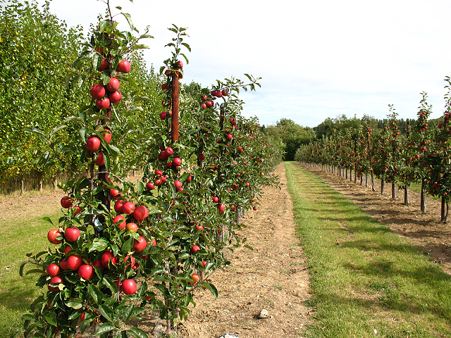 Young apple trees bearing fruit