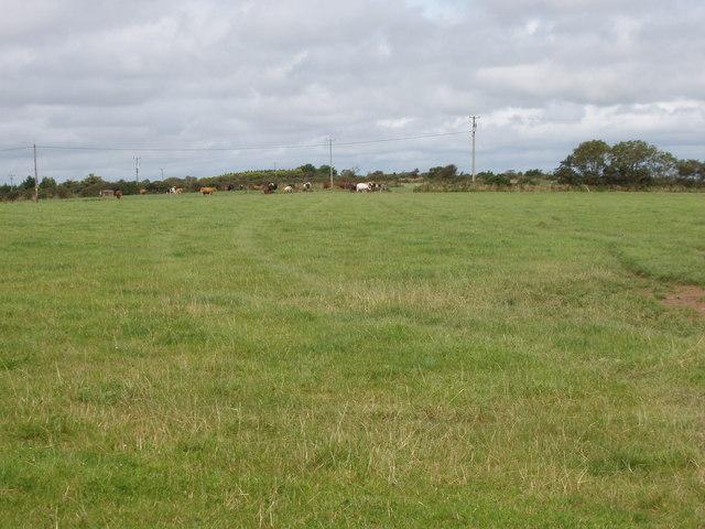 Pasture with cattle near Ballynamoyntragh